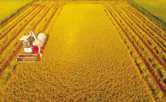 又到了收获的季节!琼海农民收割早稻迎丰收